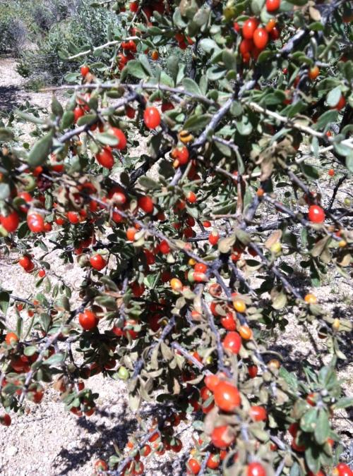 Arizpona, Sonoran desert, wolfberry , Steve Parker MD