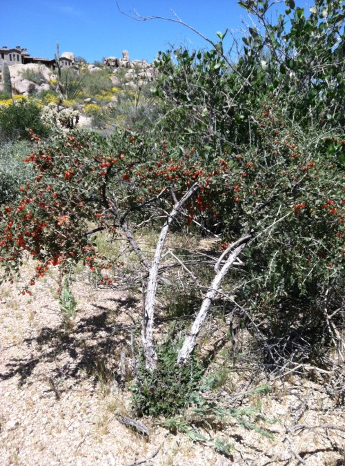 Steve Parker MD, Sonoran desert, wolfberry bush, Arizona