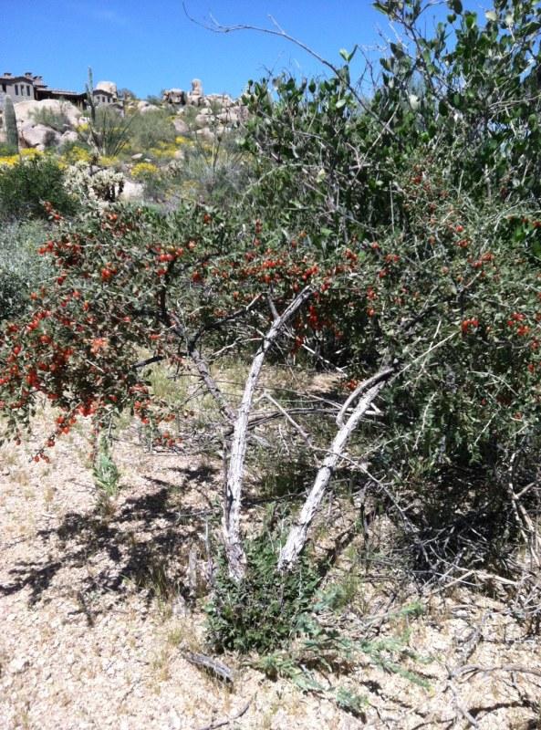 Steve Parker MD, Sonoran desert, wolfberry bush, Arizona