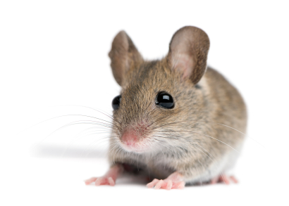 Don't assume mouse physiology is the same as human's