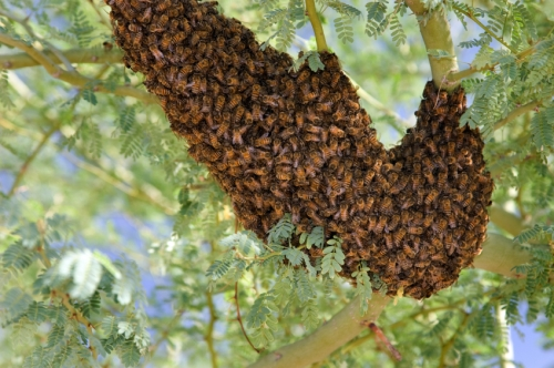 We had one of these swarms in our front yard last year for several weeks