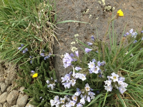 Another alpine tundra flowering plant